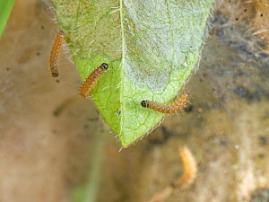 Three week old Marsh fritillary (Euphydryas aurinia) caterpillars spinning and extending the silken web they have spun over Devil's bit scabious (Succisa pratensis) leaves, their larval food plant...  -  Nick Upton
