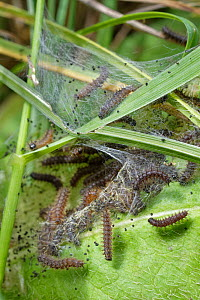 Seven week old Marsh fritillary (Euphydryas aurinia) caterpillars feeding on Devil's bit scabious (Succisa pratensis) leaves, their larval food plant, under a silken web they have spun in a chalk...  -  Nick Upton