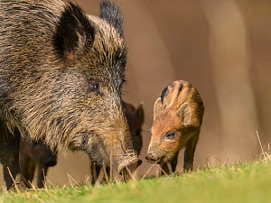 Wild boar (Sus scrofa) sow with piglets. Forest of Dean, Gloucestershire, England, UK. March  -  Oscar Dewhurst