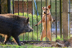 Wild boar (Sus scrofa) sow and domestic dog, looking at each other through fence. Forest of Dean, Gloucestershire, England, UK. March  -  Oscar Dewhurst