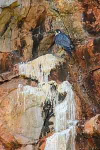 Peregrine falcon (Falco peregrinus) at regular perching site in disused quarry. Somerset, England, UK. August  -  Oscar Dewhurst
