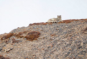 Snow leopard (Panthera uncia) mother and her sub-adult cub resting on a mountainside, Kibber Wildlife Sanctuary, India. March.  -  Yashpal Rathore