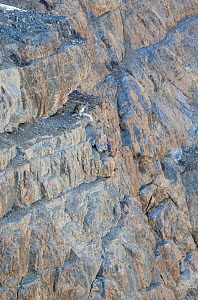 Snow leopard (Panthera uncia) male watching prey from a steep cliff, Kibber Wildlife Sanctuary, India. April.  -  Yashpal Rathore
