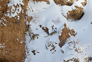 Snow leopard (Panthera uncia) mother and her sub-adult cub climbing up steep mountainside covered in thick snow, Kibber Wildlife Sanctuary, India. March.  -  Yashpal Rathore