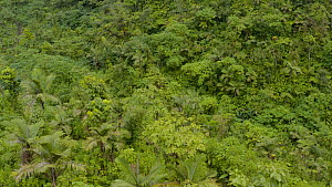 Aerial shot of tropical forest canopy located in volcano crater, Dominica, West Indies, 2019.  -  Derek Galon