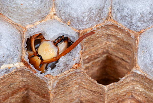 Emerging head of an adult European hornet (Vespa crabro) from the nesting tunnels, Central France.  -  Roland  Seitre