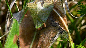 Marsh fritillary (Euphydryas aurinia) caterpillars, three week old, spinning and extending the silken web they have spun over Devil's bit scabious (Succisa pratensis) leaves, their larval food plant,...  -  Nick Upton