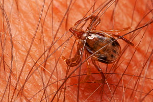 Paralysis tick (Ixodes holocyclus) female on human skin, feeds on mammals, birds and reptiles, highly dangerous to humans, can lead to paralysis and death if not removed, Buyna Pine Mountains National...  -  Bruce Thomson