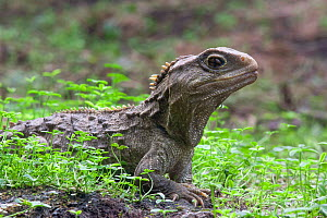 Tuatara (Sphenodon punctatus) portrait, the only surviving species of an order that flourished 200 million years ago, The Brothers Islands, Cook Straits, South Island, New Zealand.  -  Bruce Thomson