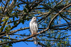 Grey goshawk (Accipiter novaehollandiae) perched in branches of tree, ambush hunter of small birds and mammals in forests and woodlands, Bunya Mountains, Queensland, Australia.  -  Bruce Thomson