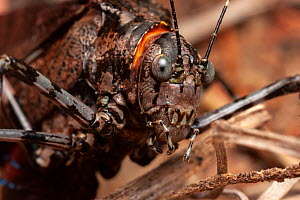 Mountain grasshopper / katydid (Acripeza reticulata) portrait showing camouflaged / reticulated patternation, when disturbed they lift wing coverts reavealing striking purple and red stripes to startl...  -  Bruce Thomson