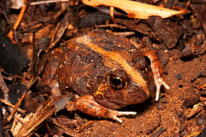 Ornate burrowing frog (Platyplectrum ornatum) in leaf litter, terrestrial frog with highly variable patterns found in eastern Australia in forests and woodlands, Inglewood, Queensland, Australia.  -  Bruce Thomson
