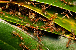 Green tree ants (Oecophylla smaragdina) defending their leafy nest in a low shrub, Cooktown, Queensland, Australia.  -  Bruce Thomson