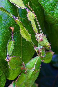 Spiny leaf insect (Extatosoma tiaratrum) female camouflaged on leaf, large phasmid found in Eucalypt (Myrtaceae) trees, Toowoomba, Queensland, Australia.  -  Bruce Thomson