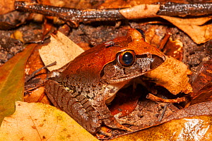 Giant barred frog (Mixophyes iteratus) juvenile sitting in leaf litter with mosquito (Culicidae) on its head feeding on blood, endangered frog that inhabits rainforests in high rainfall areas of the E...  -  Bruce Thomson