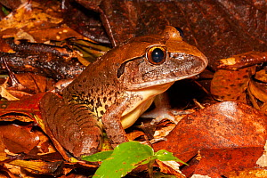 Giant barred frog (Mixophyes iteratus) sitting in leaf litter, endangered frog that inhabits rainforests in high rainfall areas of the Eastern Seaboard of Australia.  -  Bruce Thomson