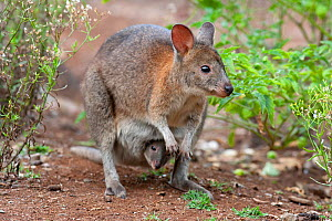 Red necked pademelon (Thylogale thetis) crouched down with joey peering from pouch, in scrubland at edges of rainforest, small macropod found in eastern Australia, Lamington National Park, Queensland,...  -  Bruce Thomson