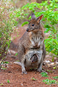 Red necked pademelon (Thylogale thetis) with joey peering from pouch, in scrubland at edges of rainforest, small macropod found in eastern Australia, Lamington National Park, Queensland, Australia.  -  Bruce Thomson