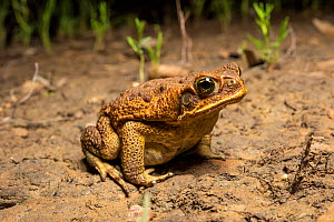 Cane toad (Rhinella marina) sitting on bare soil at night, an introduced and highly destructive pest, Rolleston, Queensland, Australia.  -  Bruce Thomson