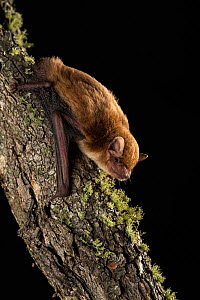 Broad-nosed bat (Scotorepens sp. Parnaby) on tree trunk, undescribed species restricted to small area on border of New South Wales in East Coast Eucalypt (Myrtaceae) forest, Stanthorpe, Queensland, Au...  -  Bruce Thomson