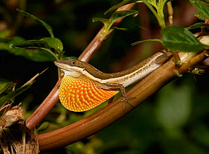 Anolis olssoni is a grass anole from southwestern Hsipaniola (Dominican Republic and Haiti). It can be found in grasses and shrubs from the coast to arrid habitats.  -  Eladio Fernandez