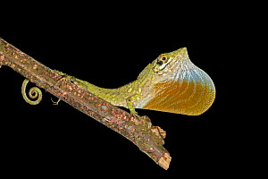 Anolis insolitus is a twig anole from the Cordillera Central of the Dominican Republic. Its a mountain dwelling species. It is easier to find at night when its perched sleeping at the end of twigs at...  -  Eladio Fernandez