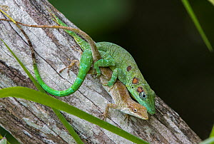 Anolis eladioi is a recently described species of anole from the cloud and pine forests of Western Sierra de Bahoruco. Male are characterized by 3 brown oceli on each side of the head, neck and should...  -  Eladio Fernandez