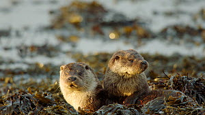 Female European otter (Lutra lutra) with two cubs drying on beach, Shetland, UK, December.  -  Richard Hopkins