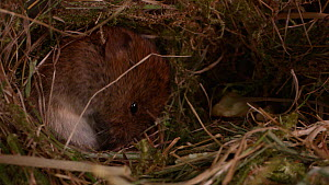 Field vole (Microtus agrestis) cleaning itself in nest before leaving, Gloucestershire, UK, April.  -  Richard Hopkins