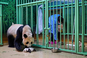 Giant panda (Ailuropoda melanoleuca) mother Huan Huan, watched by keeper, picking up cub, aged one month, Beauval ZooPark, France, 10 September 2021. Sequence 1 of 4  -  Eric Baccega