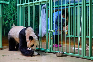 Giant panda (Ailuropoda melanoleuca) mother Huan Huan, watched by keeper, picking up cub, aged one month, Beauval ZooPark, France, 10 September 2021. Sequence 2 of 4  -  Eric Baccega