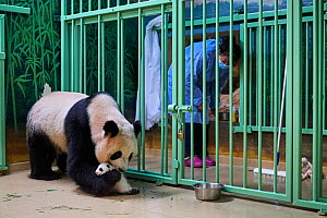 Giant panda (Ailuropoda melanoleuca) mother Huan Huan, watched by keeper, picking up cub, aged one month, Beauval ZooPark, France, 10 September 2021. Sequence 3 of 4  -  Eric Baccega