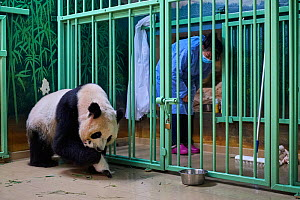 Giant panda (Ailuropoda melanoleuca) mother Huan Huan, picking up cub, aged one month, Beauval ZooPark, France, 10 September 2021. Sequence 4 of 4  -  Eric Baccega