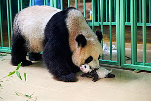 Giant panda (Ailuropoda melanoleuca) mother Huan Huan, picking up cub, aged one month, Beauval ZooPark, France, 9 September 2021.  -  Eric Baccega