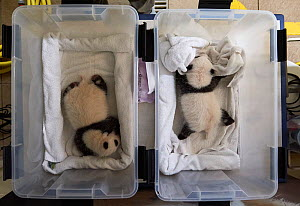 Giant panda (Ailuropoda melanoleuca) twin female cubs, aged 1 month in boxes, Beauval ZooPark, France, 10 September 2021.  -  Eric Baccega