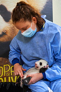 French keeper (Cassandra Milliet) cleaning Giant panda (Ailuropoda melanoleuca) cub aged one month, Beauval ZooPark, France. 10 September 2021.  -  Eric Baccega