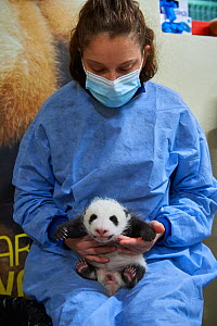 French keeper (Cassandra Milliet) with Giant panda (Ailuropoda melanoleuca) cub, aged one month, Beauval ZooPark, France. 10 September 2021.  -  Eric Baccega