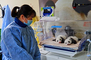 Chinese keeper (Mrs Mao Min) with Giant panda (Ailuropoda melanoleuca) twin cubs aged one month in incubator, Beauval ZooPark, France. 9 September 2021.  -  Eric Baccega