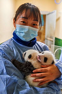 Chinese keeper (Mrs Mao Min) with Giant panda (Ailuropoda melanoleuca) twin cubs aged one month,Beauval ZooPark, France. 9 September 2021.  -  Eric Baccega