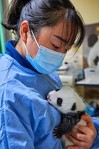 Chinese keeper (Mrs Mao Min) with Giant panda (Ailuropoda melanoleuca) cub, aged one month, Beauval ZooPark, France. 9 September 2021.  -  Eric Baccega