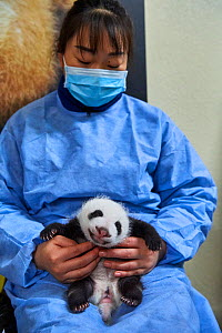 Chinese keeper (Mrs Mao Min) with Giant panda (Ailuropoda melanoleuca) cub, aged one month, Beauval ZooPark, France. 10 September 2021.  -  Eric Baccega