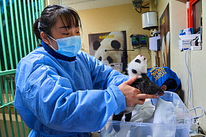 Chinese keeper (Mrs. Mao Min) weighing Giant panda (Ailuropoda melanoleuca) cub aged 1 month. Beauval ZooPark, France. 9 September 2021.  -  Eric Baccega
