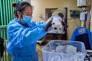 Chinese keeper (Mrs. Lyu Riuqing) weighing Giant panda (Ailuropoda melanoleuca) cub aged 1 month. Beauval ZooPark, France. 9 September 2021.  -  Eric Baccega