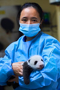 Chinese keeper (Mrs Lyu Riuqing) with cub Giant panda (Ailuropoda melanoleuca) aged 1 month. Beauval ZooPark, France. 9 September 2021.  -  Eric Baccega
