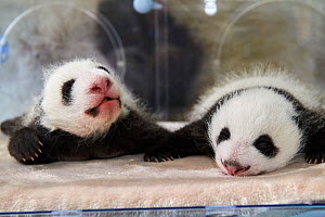 Giant panda (Ailuropoda melanoleuca) twins aged 1 month in incubator, Beauval ZooPark, France, 9 September 2021.  -  Eric Baccega