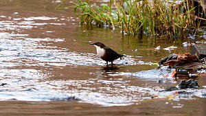 White-throated dipper (Cinclus cinclus) feeding in shallow waters of the River Mersey before flying away, Greater Manchester, UK.  -  Terry Whittaker