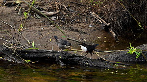 White-throated dipper (Cinclus cinclus) returning to newly-fledged chick to feed it before flying away, River Mersey, Greater Manchester, UK.  -  Terry Whittaker