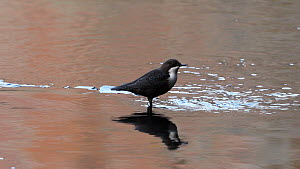 White-throated dipper (Cinclus cinclus) singing on old tyre, River Mersey, Greater Manchester, UK.  -  Terry Whittaker