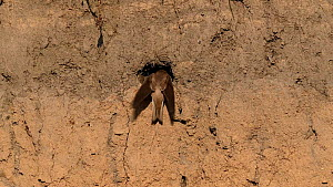 Sand martin (Riparia riparia) returning to nest in bank of River Tame then excavating earth from inside, Greater Manchester, UK.  -  Terry Whittaker