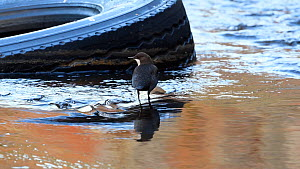 White-throated dipper (Cinclus cinclus) dunking head in water to feed by old tyre, River Mersey, Greater Manchester, UK.  -  Terry Whittaker